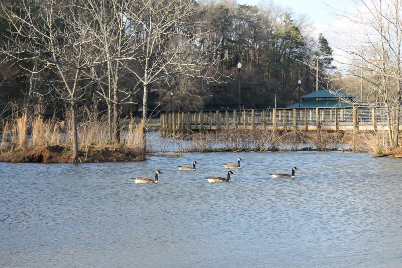 湖岸在湖尾随公园美丽的鸭子和晴天 图库摄影