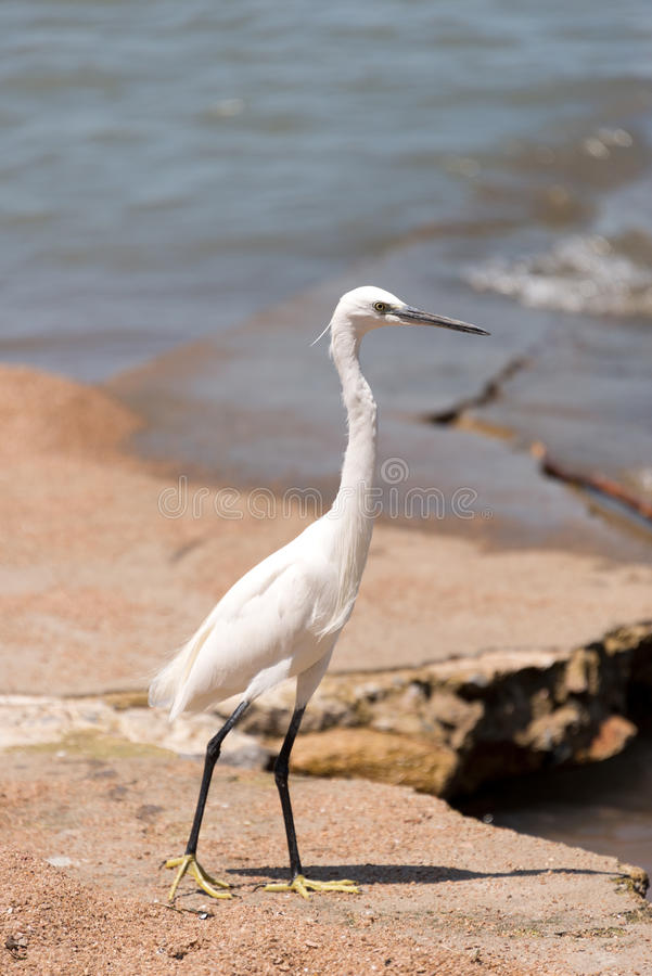 湖岸小白鹭,坦桑尼亚 免版税库存图片
