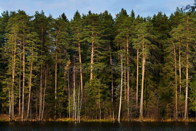 湖的杉木森林 免版税图库摄影