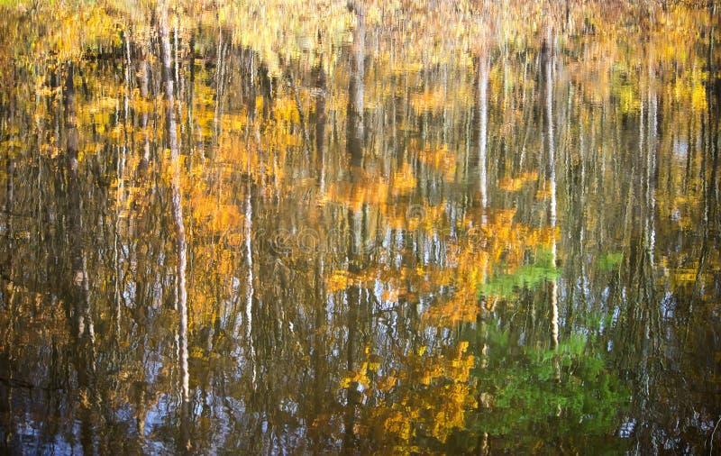 湖银行的金黄桦树森林有反射的 免版税库存图片