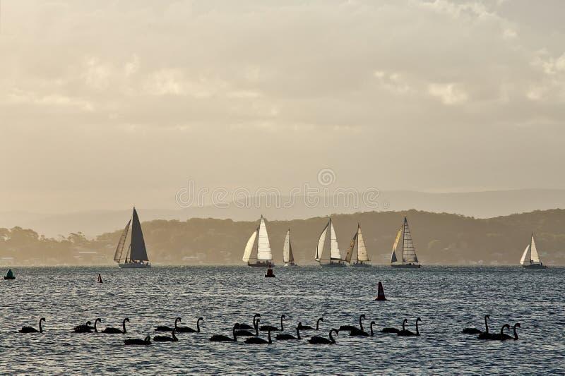 湖Macquarie小船和天鹅 免版税库存图片