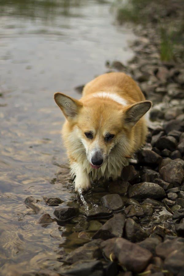 湿威尔士小狗彭布罗克角狗走室外 免版税库存图片