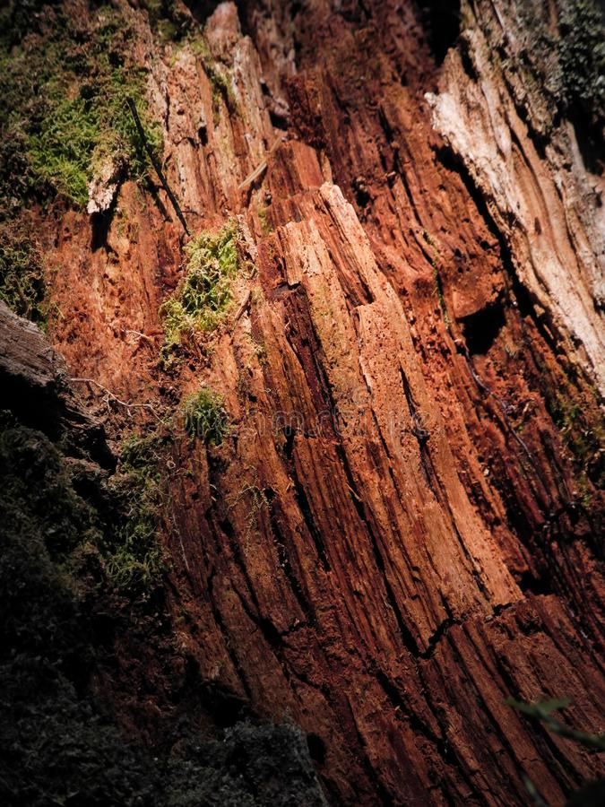 湿木纹理详细的特写镜头照片  残破的红色树在有绿色青苔的森林里 图库摄影