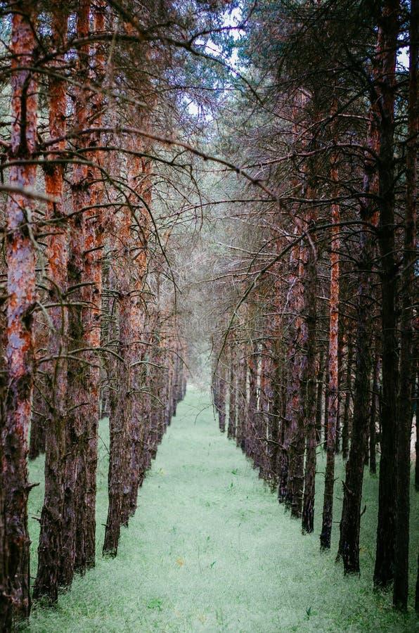 湿杉木光滑的行  树黑暗的湿树干在年轻草鲜绿色的背景的  强的对比 库存照片