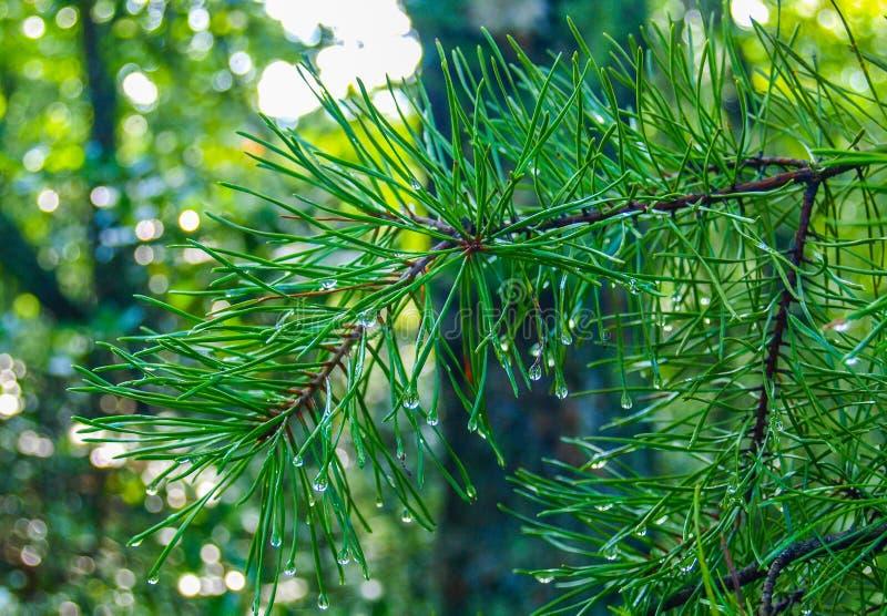 湿杉树针 库存图片
