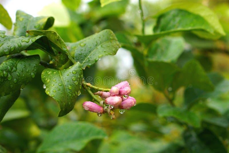 湿树叶子柠檬芽 免版税库存图片