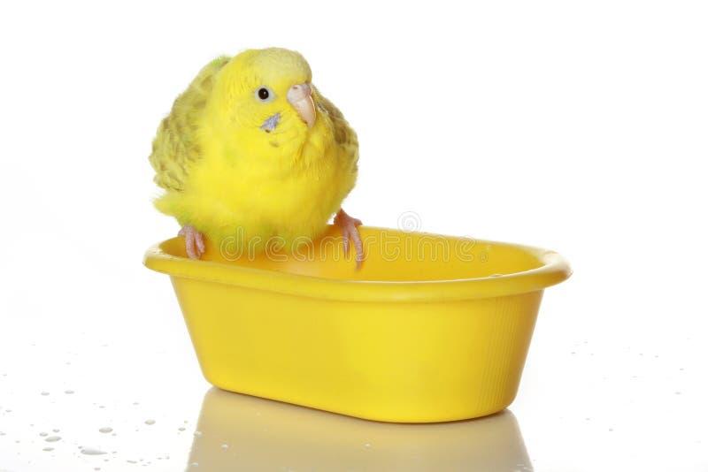 湿沐浴的鹦鹉 免版税库存照片