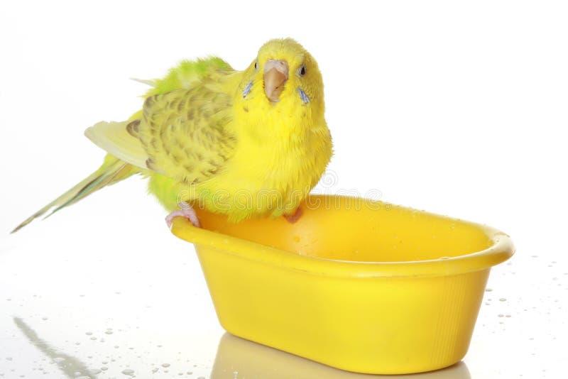 湿沐浴的鹦鹉 库存照片