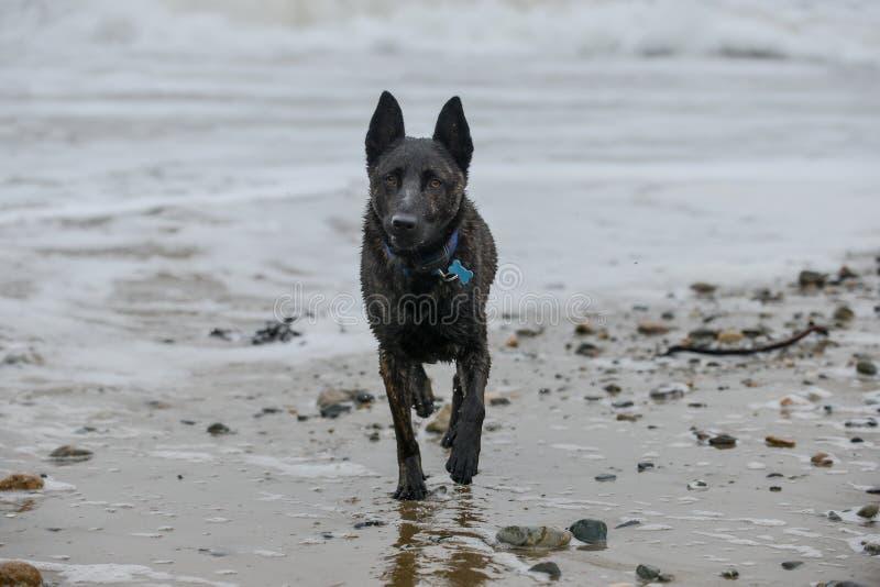 湿狗在海滩的一辛苦以后 库存照片