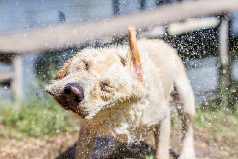 湿狗震动他的头 免版税库存照片