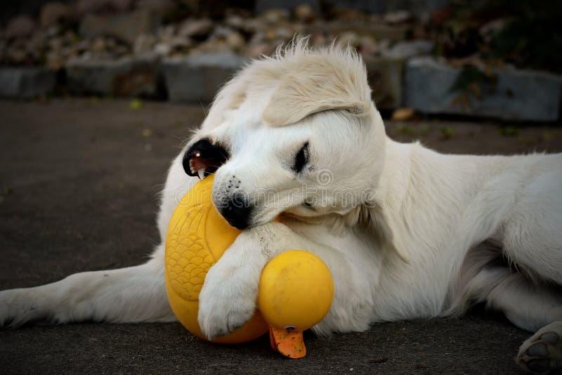 湿白色小狗 图库摄影
