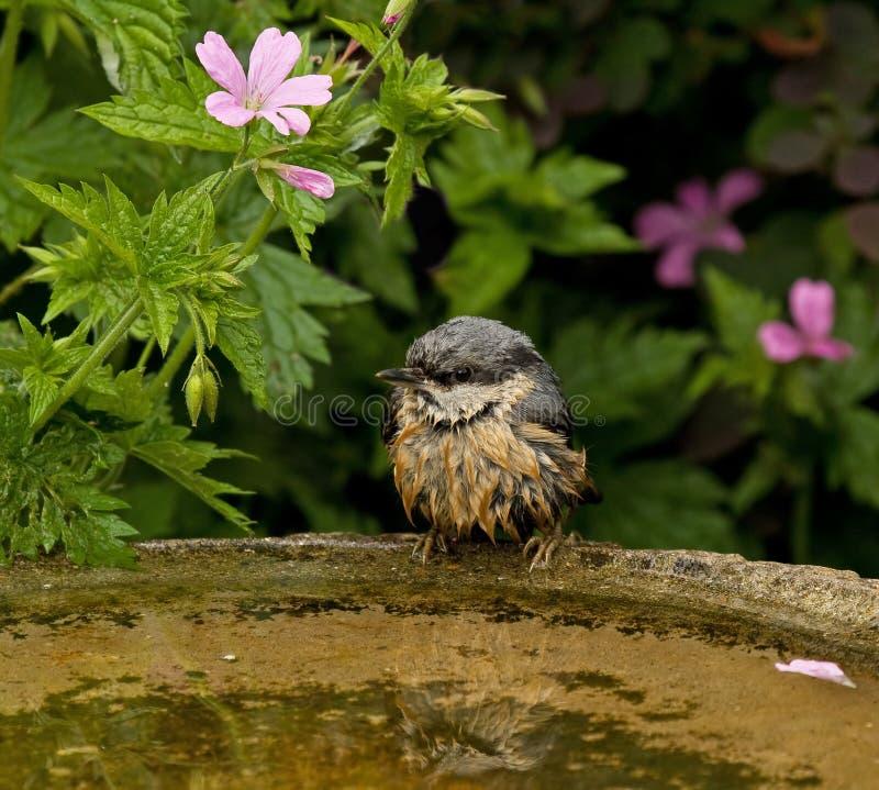 湿的五子雀 库存照片