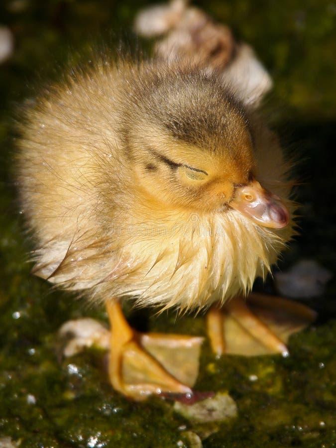 湿的小鸡 免版税库存图片
