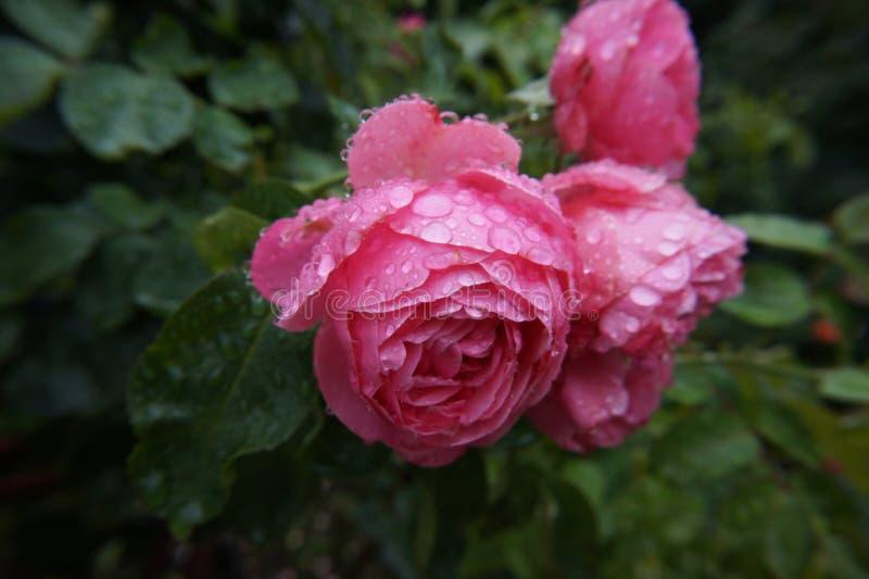 湿的淡粉红色 免版税库存照片
