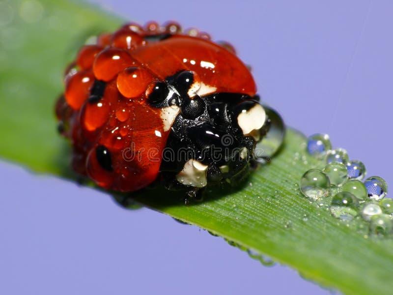 湿的瓢虫 库存图片