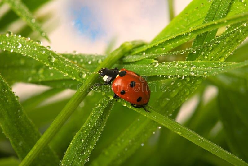湿的瓢虫 免版税图库摄影