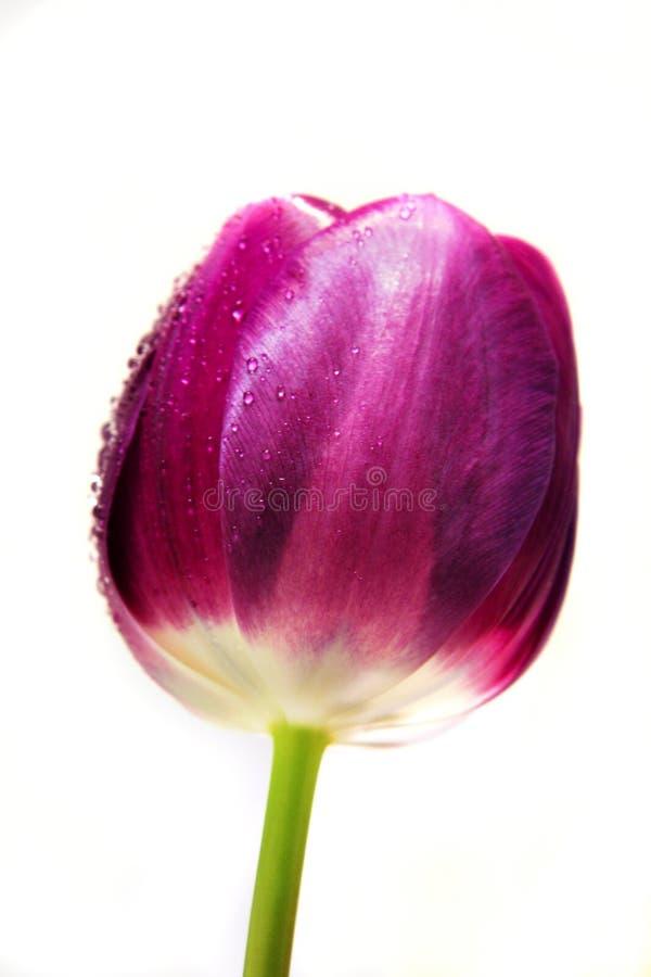 湿紫色的郁金香 库存照片