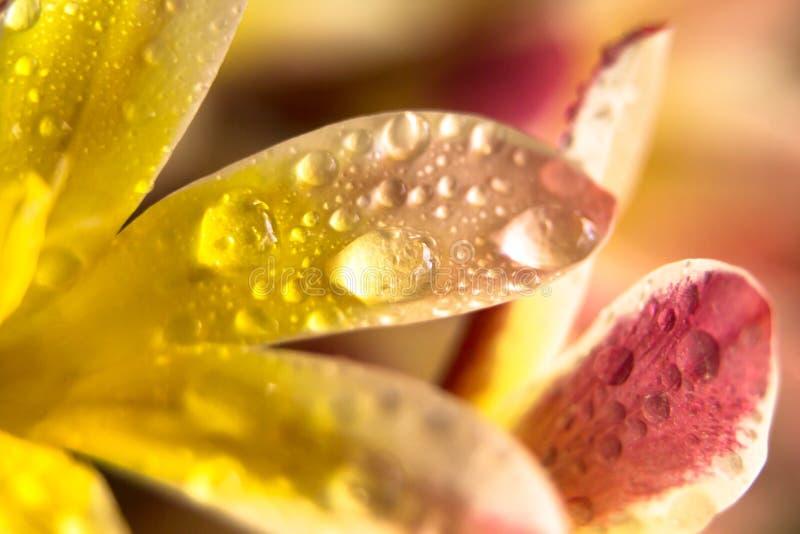 湿花瓣 五颜六色的花卉特写镜头背景 免版税库存照片