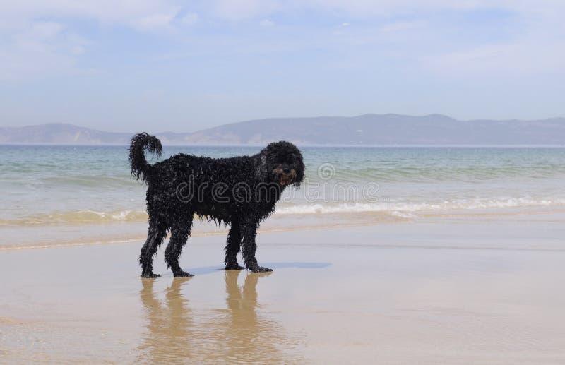 湿葡萄牙水猎狗 免版税库存照片