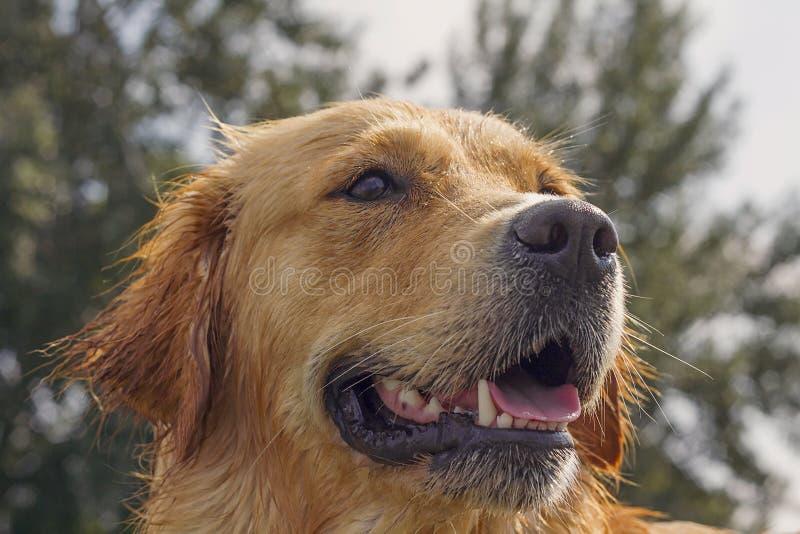 湿金毛猎犬特写 免版税库存照片