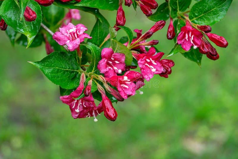 湿锦带花布里斯托尔红宝石开花的分支  选择聚焦和特写镜头美丽的明亮的桃红色花反对常青树 免版税库存图片