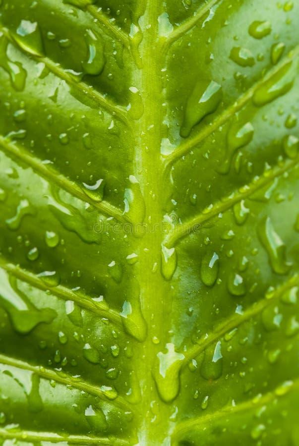 湿香蕉的叶子 库存照片