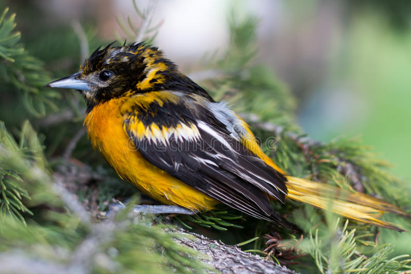 湿巴尔的摩金莺 免版税库存图片