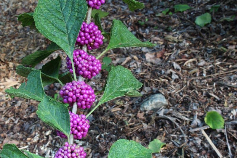 源于美国秀丽莓果灌木用紫色莓果和背景软性 免版税库存图片