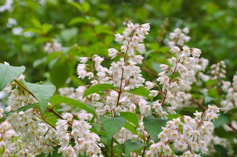 溲疏crenata,白色灌木 库存照片