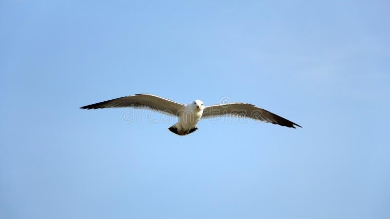 滑动在天空蔚蓝的海鸥 免版税库存图片