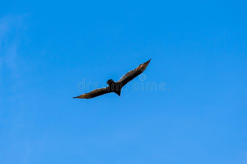滑动在清楚的蓝天的火鸡兀鹰 免版税库存照片