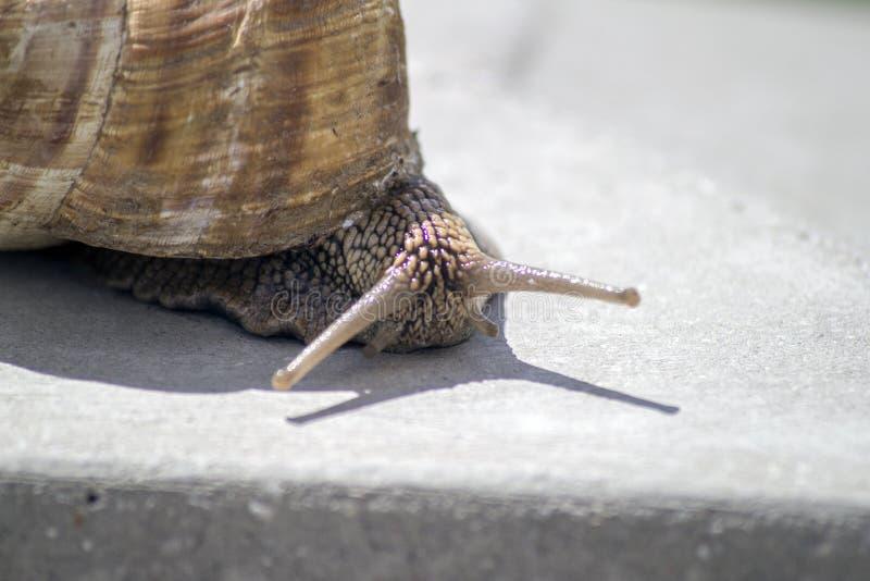 滑动在石纹理的蜗牛 免版税库存照片