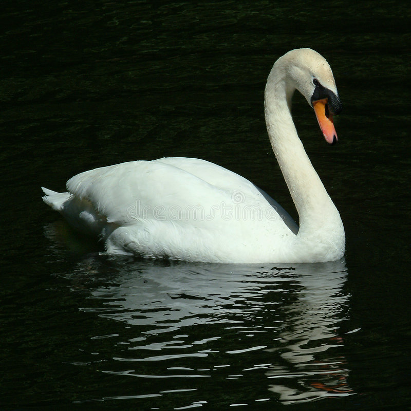 滑动的湖天鹅 免版税库存照片