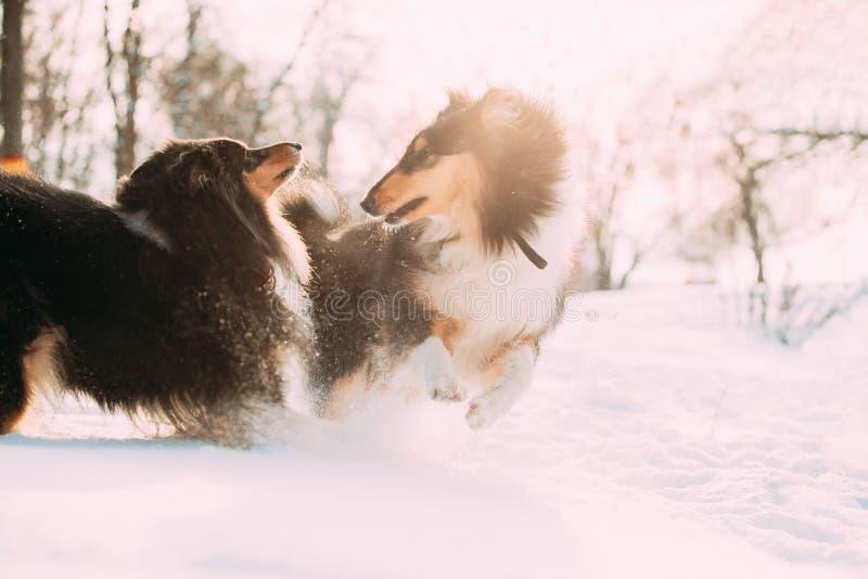 滑稽的三色粗砺的大牧羊犬,苏格兰大牧羊犬,英国大牧羊犬,La 免版税图库摄影