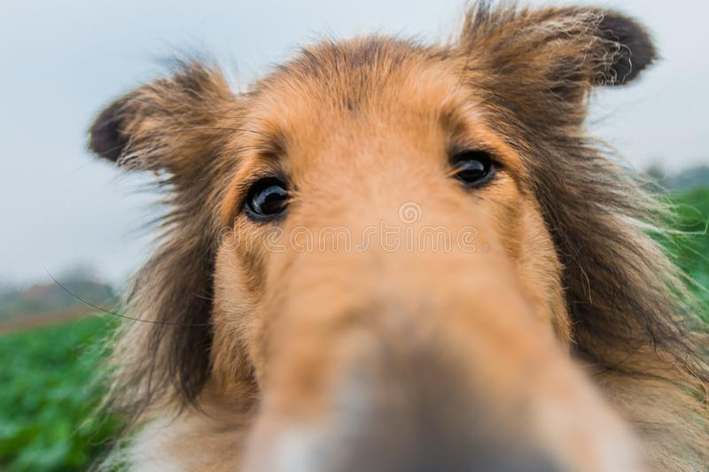 滑稽的与大鼻子的金粗砺的大牧羊犬 免版税图库摄影