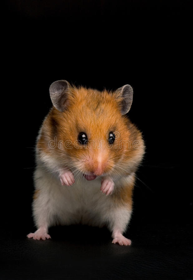 滑稽的仓鼠 免版税图库摄影