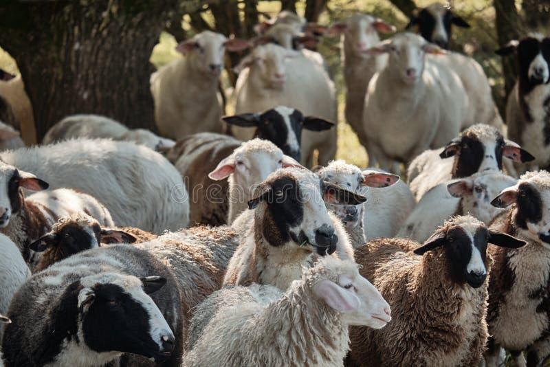 滑稽的凉快的绵羊 吃草的绵羊群  免版税图库摄影
