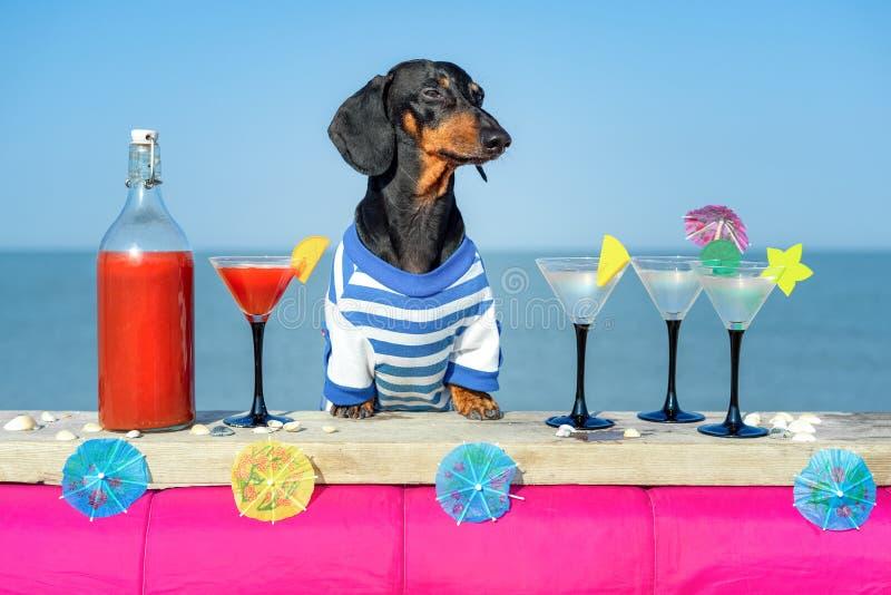 滑稽的凉快的达克斯猎犬狗饮用的鸡尾酒,在一个海滩俱乐部党的酒吧有海景 图库摄影