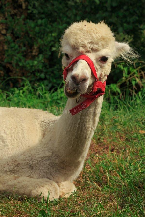 滑稽的唯一羊魄在绿色的公园 库存照片