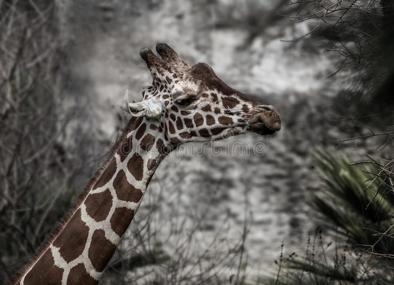 滑稽的嚼的长颈鹿 库存照片