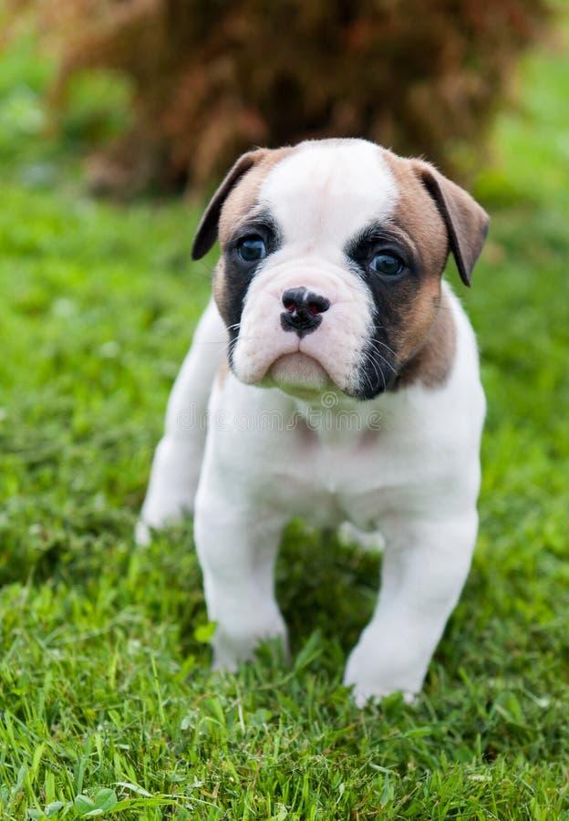 滑稽的好的红色美国牛头犬小狗在草走 库存图片