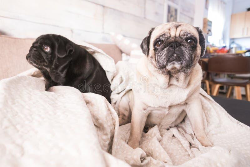 滑稽的宠物哈巴狗狗夫妇在沙发的 免版税库存图片
