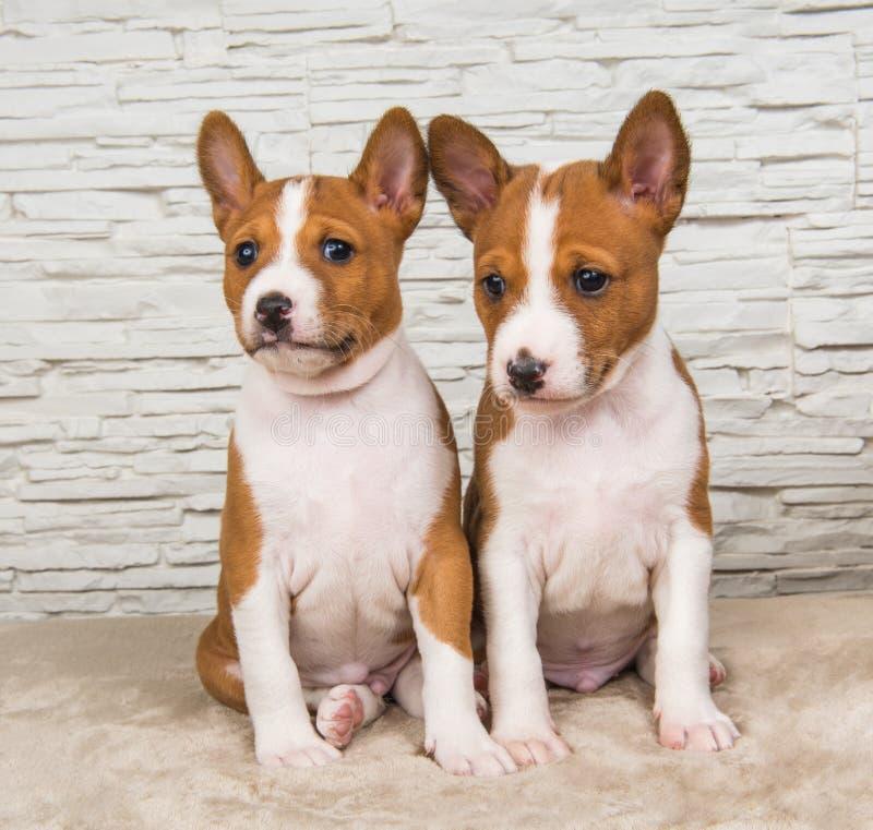 滑稽的小婴孩在白色墙壁背景的两条Basenji小狗 库存图片