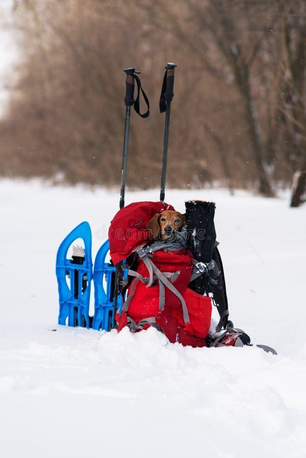 滑稽的小狗在一个远足者` s背包放松在冬天森林里 免版税库存照片