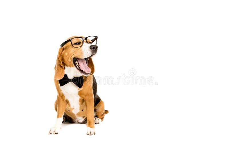 滑稽的小猎犬狗打呵欠的和佩带的镜片和蝶形领结 库存照片