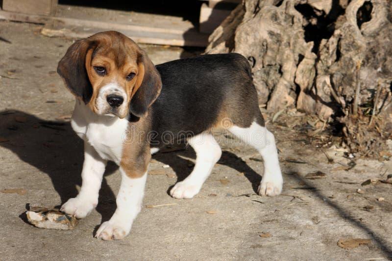 滑稽的小猎犬 免版税库存照片