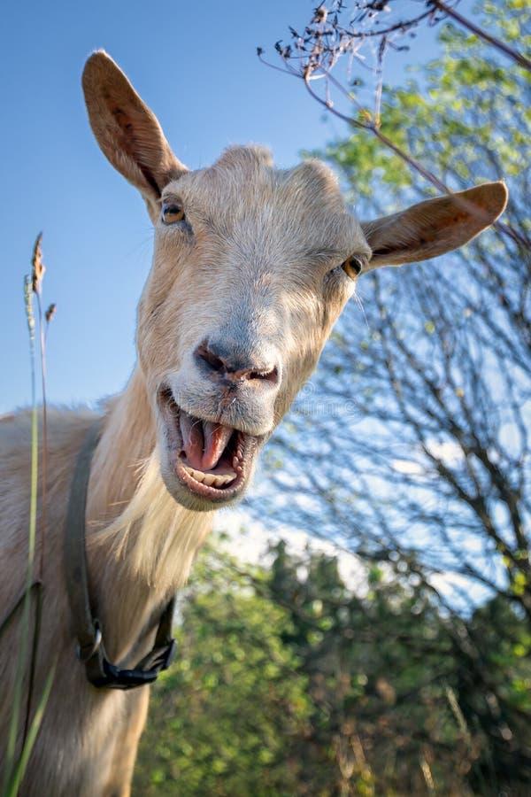 滑稽的山羊,好象将说嘿 库存照片