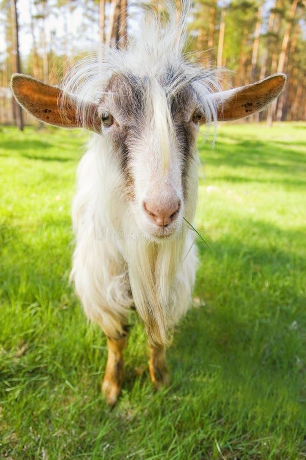 滑稽的山羊 免版税库存照片