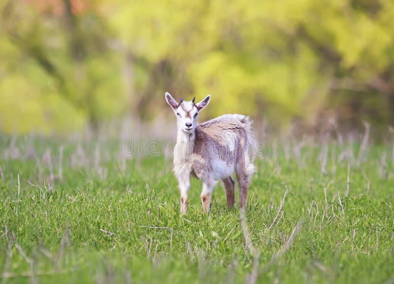 滑稽的幼小山羊在一个绿色草甸吃草在一个晴朗的夏天d 库存图片