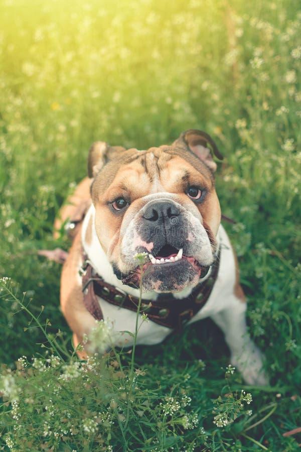 滑稽的微笑的英国牛头犬 使用在绿草的逗人喜爱的幼小英国牛头犬 狗训练 愉快的牛头犬奔跑在草甸 免版税库存图片